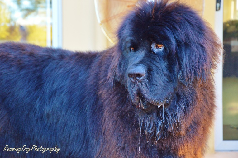 Humphry the Newfoundland