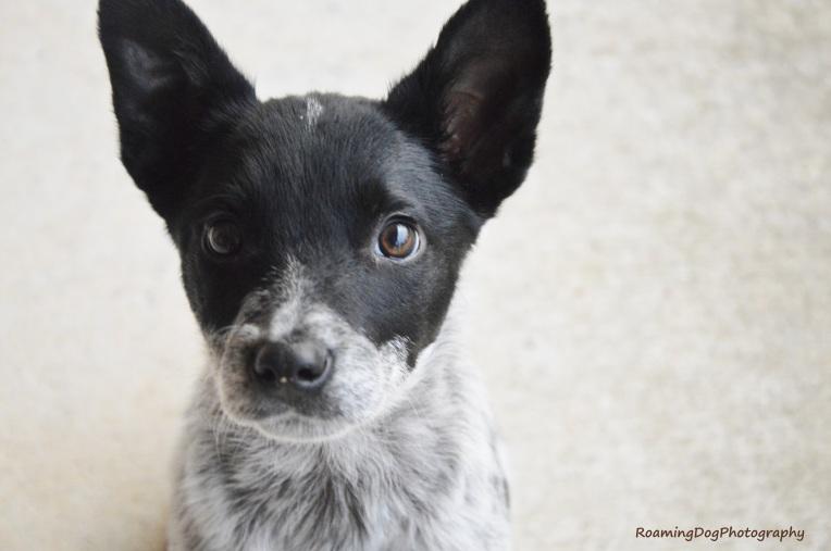 Jinx, Foster Puppy