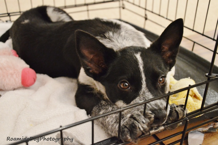 Jax, Foster Pup