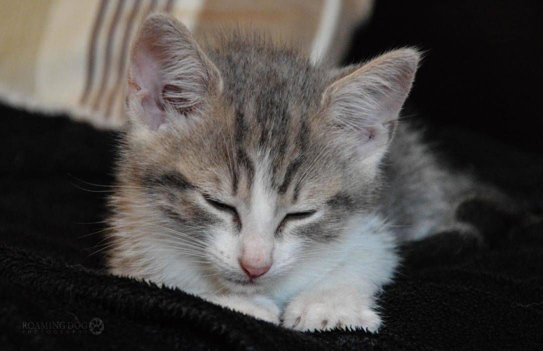 Armani Foster Kitten