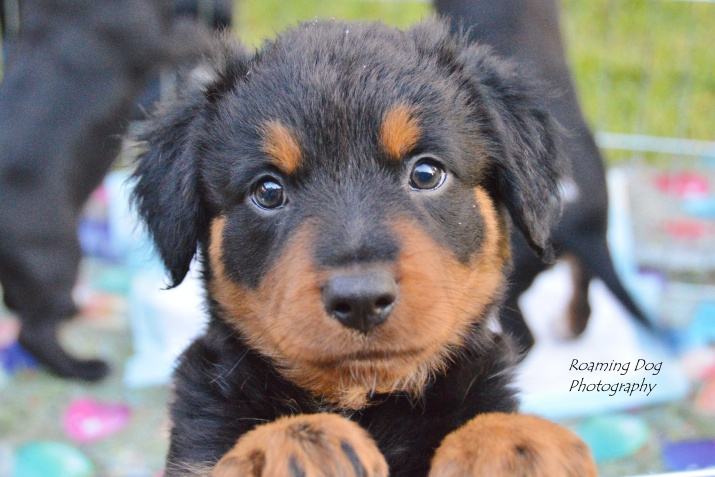 Kozi Bear Foster Pup