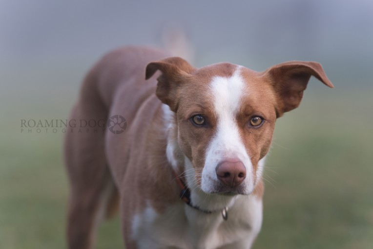 Smooth Coat Red Border Collie