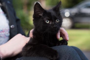 Cleveland Foster Kitten